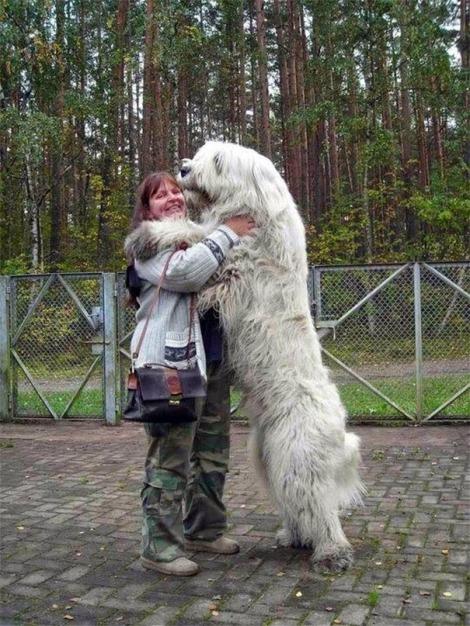 perros enormes 1